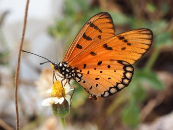Tawny Coster butterfly on the flower - Free image #201497