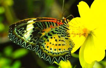 Leopard Lacewing butterfly on yellow flower - Free image #201527