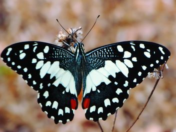 Close-up of black lime butterfly - image gratuit #201537
