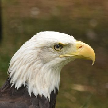 Portrait of Bald Eagle - image gratuit #201657
