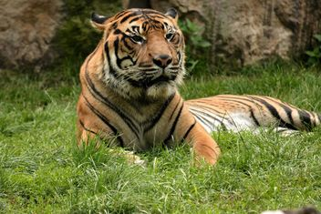 Tiger in the Zoo - image gratuit #201677