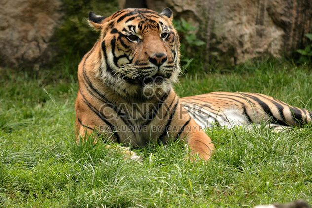 Tiger in the Zoo - Free image #201677