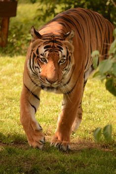 Tiger Close Up - image gratuit #201707