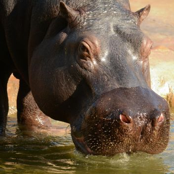 Hippo In The Zoo - image #201717 gratis