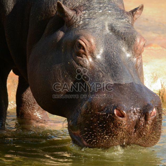 Hippo In The Zoo - Free image #201717