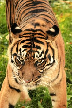 Tiger Close Up - image gratuit #201727