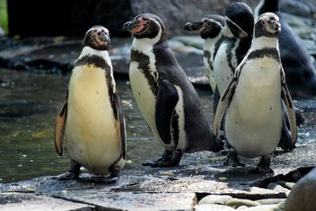 Penguins in The Zoo - image #225327 gratis