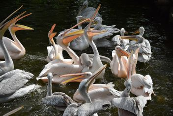 Pink Pelicans - Free image #229477