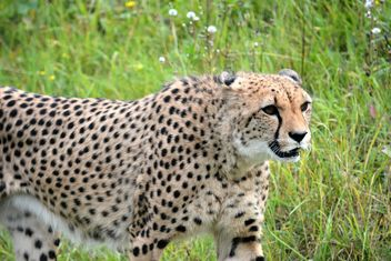 Cheetah on green grass - image #229507 gratis