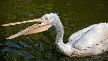 Pelican in a pond - Free image #229517