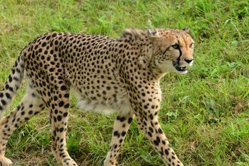 Cheetah on green grass - image #229527 gratis