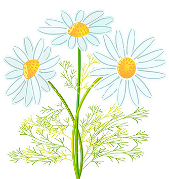 Free camomile flowers vector - Free vector #269887