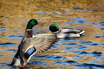 Duck in the pond flapping its wings - бесплатный image #271907