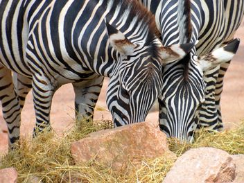 Zebras in the zoo - image gratuit #271997