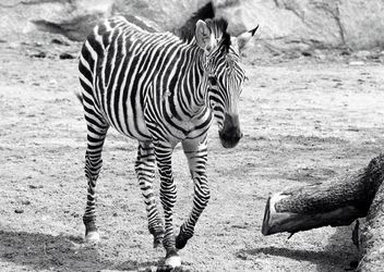 Zebra in the zoo - image #272137 gratis