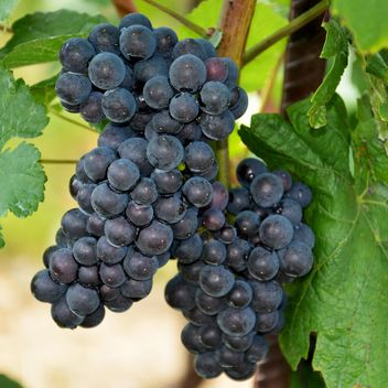 Organic black Grapes - image #272927 gratis