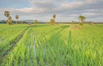 Rice fields - image #272947 gratis