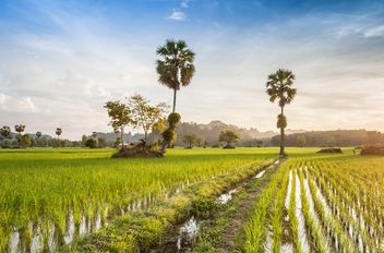 Rice fields - image #272957 gratis
