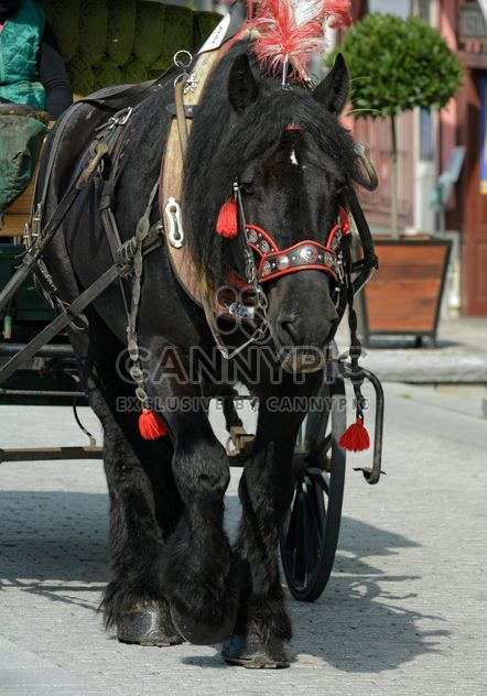 Black Horse dran in carriage - Free image #275067