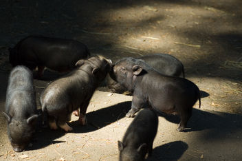 Piglets kissing - Free image #275477