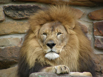 Lion at Fort Worth Zoo - image #275607 gratis