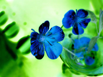 Blue flower - Free image #275967
