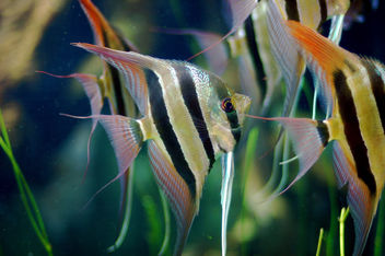 Angel Fish - image gratuit #276277