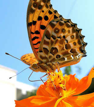 A butterfly on a cosmos 2 - image gratuit #276617