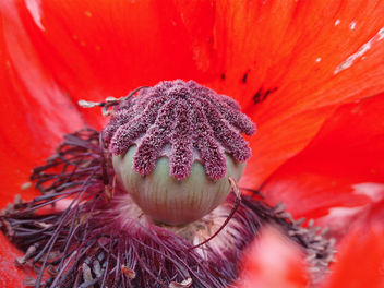 Poppy Head Just Before The Petals Fell - image gratuit #277147