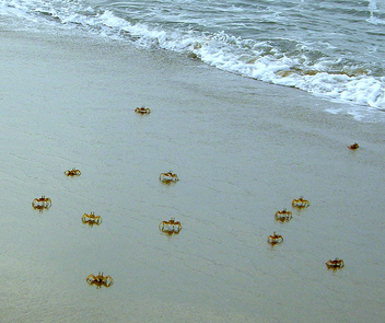 Sand Crabs - Free image #277197