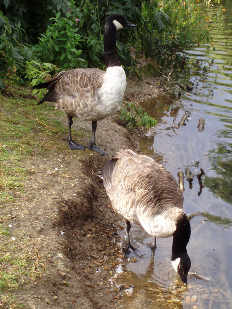 Two Geese - Free image #277337