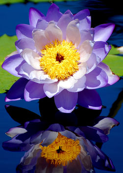 Hardy Waterlily - Free image #277347