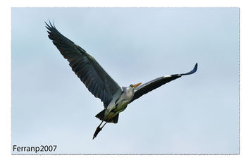 Bernat pescaire en vol 01 - Garza real en vuelo - Grey heron in flight - Ardea cinerea - image #277537 gratis
