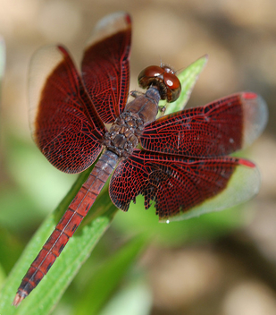 Burgundy Dragonfly - Kostenloses image #277577