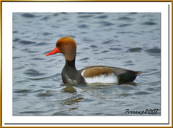 xibec mascle - pato colorado macho - red-crested pochard - netta rufina - Free image #277807