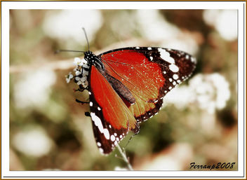 mariposa tigre - butterfly - papallona - Kostenloses image #277917