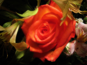 This rose... - Free image #278127