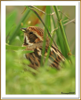 repicatalons 02 - escribano palustre - reed bunting - emberiza shoeniclus - Free image #278177