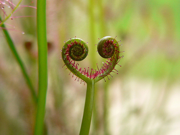 Even insectivorous plants have a heart - image gratuit #278187