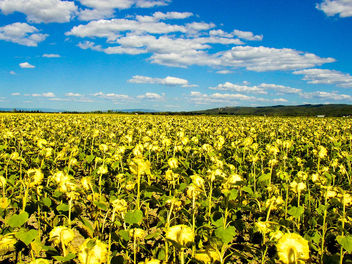Sunflowers in Provence - image #278597 gratis