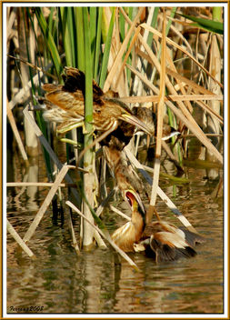 Avetorilla alimentando a sus polluelos 01 - mom little bittern feeding their chickens - image #278727 gratis