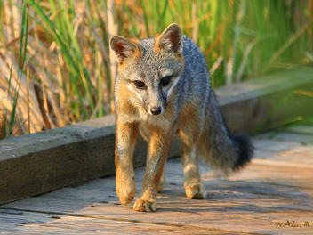 Young Grey Fox! - image gratuit #279647