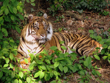 tiger in the morning sun - image gratuit #279707
