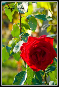 October Rose - Free image #280517