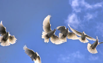 on the wings of a snow white dove - image #280527 gratis