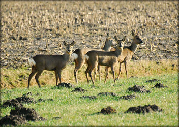 Wild deer....so shy and always together - Kostenloses image #280847