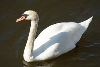 Swan on the lake - image #281017 gratis