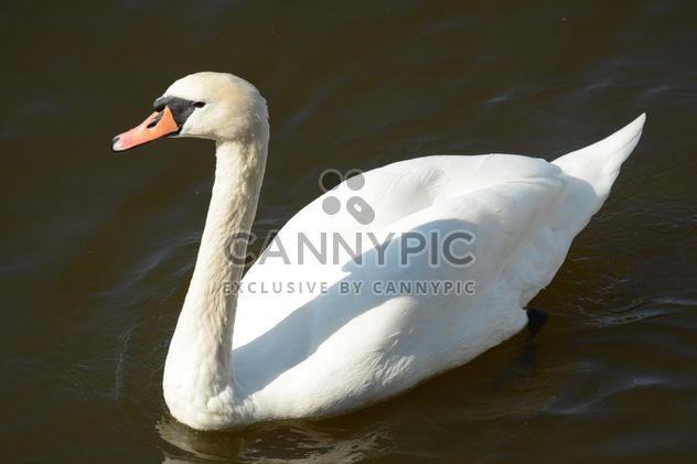 Swan on the lake - Free image #281017