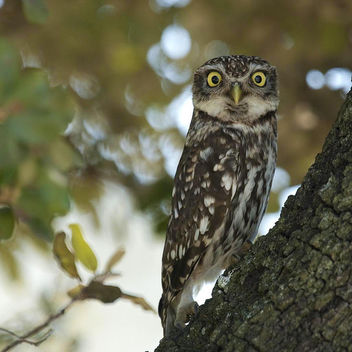little_owl_ext - Kostenloses image #281187