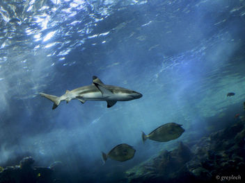 black-tipped reef shark - image gratuit #281227